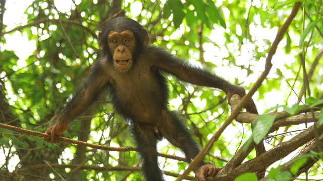 ms baby chimpanzee standing and shaking branch - 4k resolution stock videos & royalty-free footage