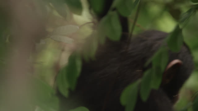 baby chimpanzee (pan troglodytes) swings from branch in forest, senegal - chimpanzee stock videos & royalty-free footage