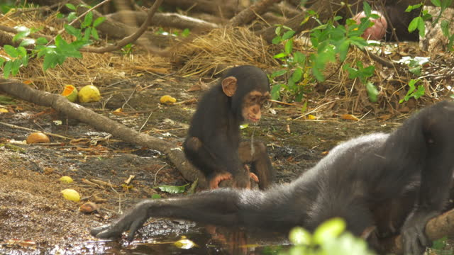 baby chimpanzees playing by pool with adult in foreground - three animals stock videos & royalty-free footage