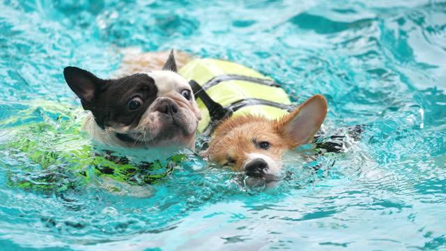 stockvideo's en b-roll-footage met de hondspel van corgi van de baby bij het zwembad - pembroke