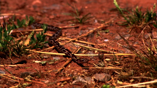 a baby corn snake slithers across red dirt and grass. - bristol england stock videos & royalty-free footage