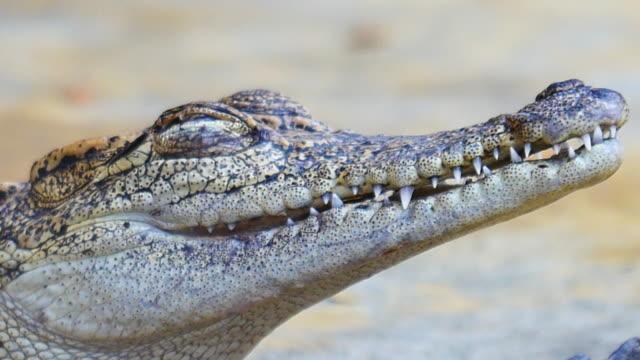 baby-krokodil, die augen blinken weichzeichnen hintergrund. - echte krokodile stock-videos und b-roll-filmmaterial