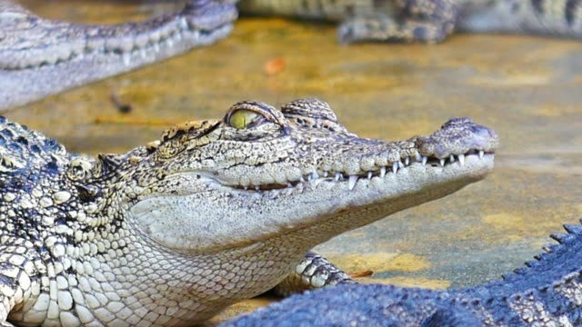 baby crocodile eyes blink on blur background. - one animal stock videos & royalty-free footage