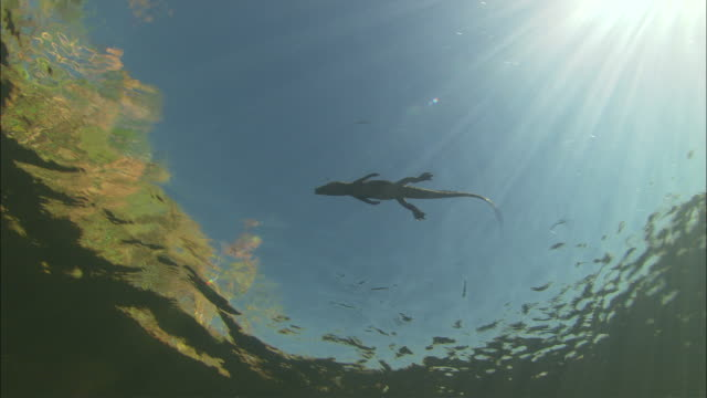 a baby crocodile swims on the surface of a river, botswana available in hd. - echte krokodile stock-videos und b-roll-filmmaterial