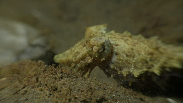 Baby-Tintenfische-Jagd bei Nacht undersea