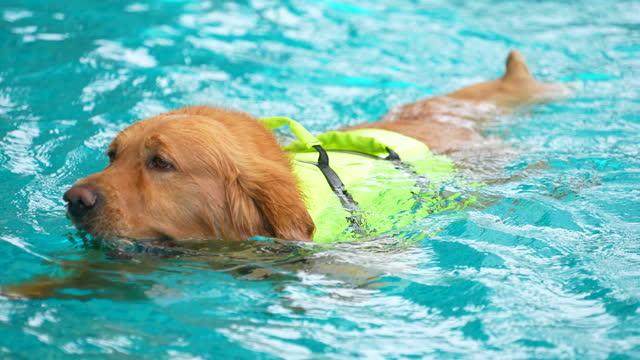 vídeos y material grabado en eventos de stock de juego de perros bebé en la piscina - pembroke