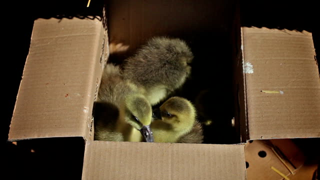 Baby ducks in a box