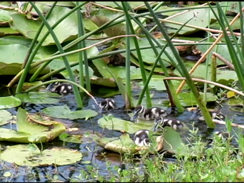 baby ducks - foraging stock videos and b-roll footage