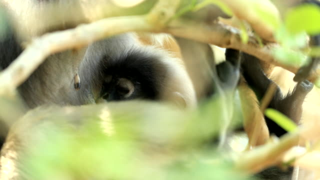 baby dusky langur sucking milk from mother dusky langur on tree branch in the forest - sucking stock videos & royalty-free footage