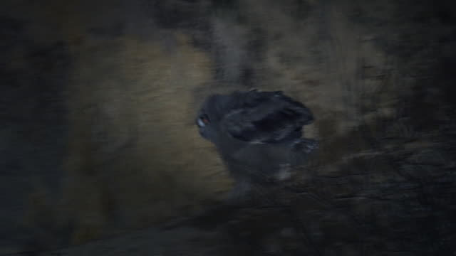 stockvideo's en b-roll-footage met baby eagle owl walking around a cliff/ dmz (demilitarized zone between south and north korea), goseong-gun - uil