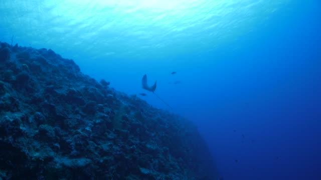 Baby eagleray in undersea reef