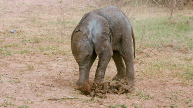 vidéos et rushes de baby elephant & dung samburu  kenya  africa - éléphanteau