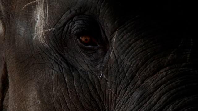 Baby Elephant Eye - Close Up