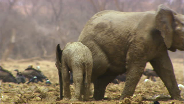 baby elephant following elephant - young animal stock videos & royalty-free footage