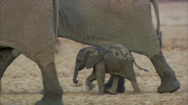 baby elephant following elephants - young animal stock videos & royalty-free footage