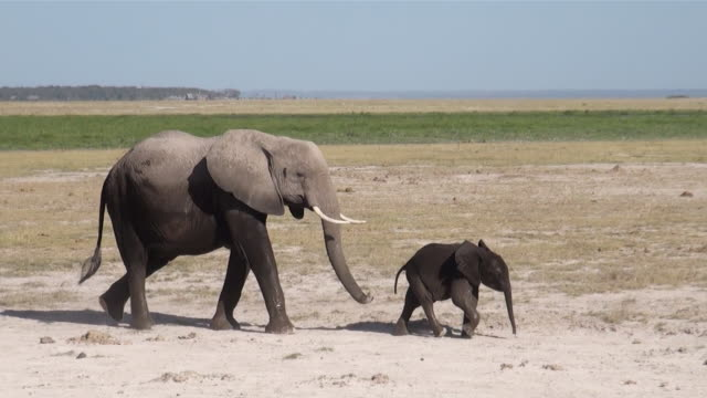 MS TS Baby elephant following mother and walking from left to right amboseli national park AUDIO / Amboseli, Rift Valley, Kenya