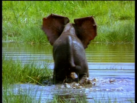 Baby elephant plays in marshy water