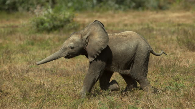 vídeos de stock, filmes e b-roll de baby elephant running 4k slow motion - south africa - elefante