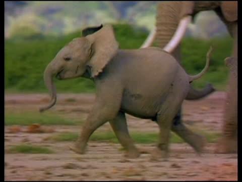 vidéos et rushes de baby elephant runs along ahead of herd - éléphanteau