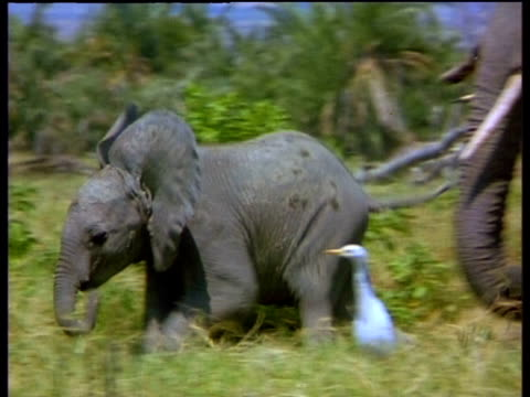 baby elephant runs and falls over - careless stock videos & royalty-free footage