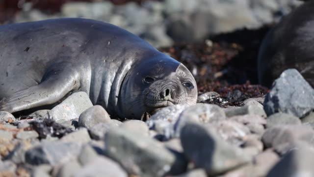 baby elephant seal, antarctica - elephant seal stock videos & royalty-free footage