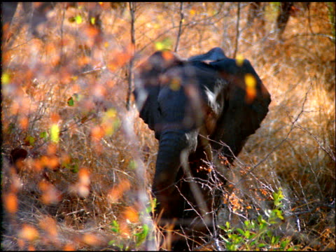 baby elephant shakes trunk amongst leaves and branches, botswana - naso di animale video stock e b–roll