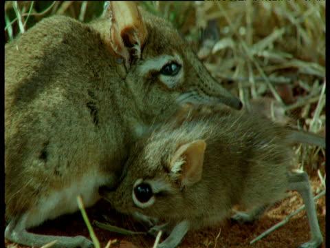 vídeos de stock, filmes e b-roll de baby elephant shrew sniffs around mother on savanna, east africa - vida de bebê
