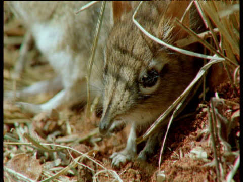 baby elephant shrew yawns, sticks out tongue and twitches nose, east africa - squiggle stock videos & royalty-free footage