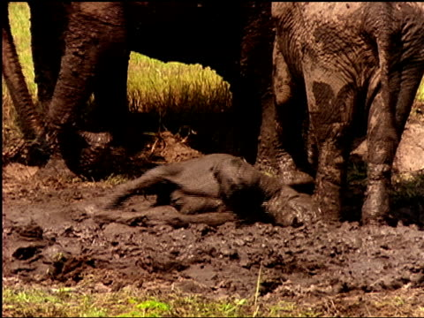 a baby elephant slips in the mud as it tries to get up. - mud stock videos and b-roll footage