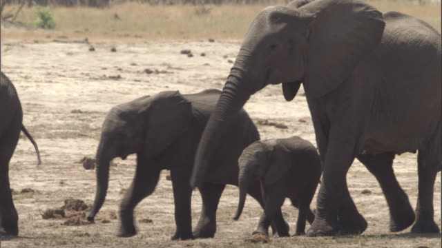 Baby elephant stumbles as it walks with its family. Available in HD.