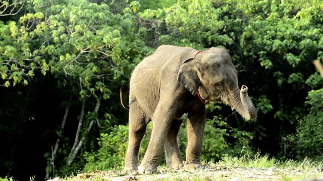 Baby elephant sway trunk
