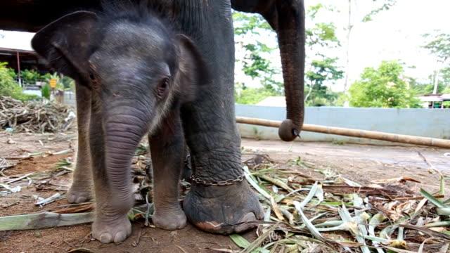 vidéos et rushes de bébé éléphant - éléphanteau