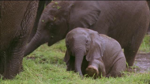 vidéos et rushes de baby elephant wades through muddy swamp, africa available in hd. - éléphanteau