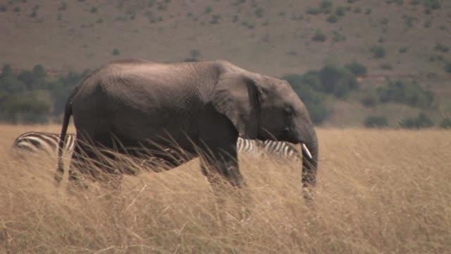 vidéos et rushes de baby elephant walk thru savannah grass with zebras behind, masai mara np, kenya  - petit groupe d'animaux