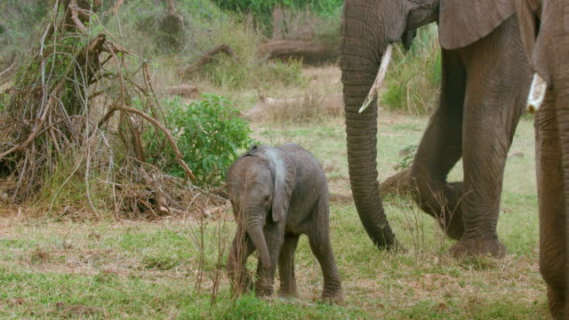 baby elephant walking samburu  kenya  africa - calf stock videos & royalty-free footage