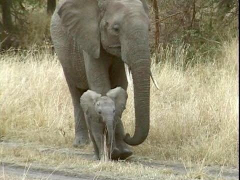 ms pan baby elephant walking with mother  - animal nose stock videos & royalty-free footage