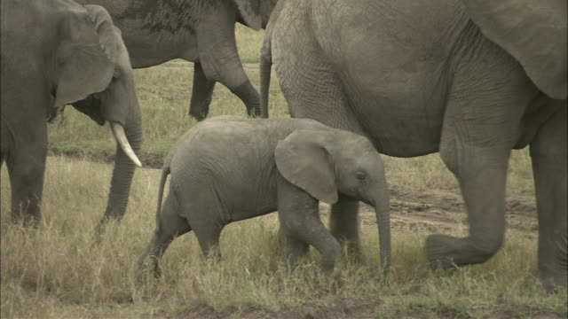 vídeos de stock, filmes e b-roll de a baby elephant walks alongside its mother and pauses to nurse. - elefante