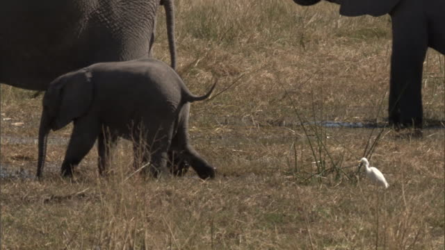 a baby elephant walks near its mother in a marsh. available in hd. - elefant stock-videos und b-roll-filmmaterial