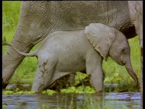 Baby elephant walks through mud