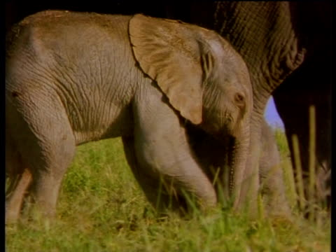 baby elephant with mother - animal nose stock videos & royalty-free footage