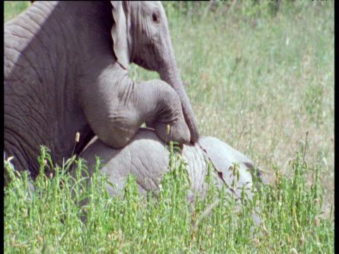 vidéos et rushes de baby elephants play and tumble on savanna - éléphanteau
