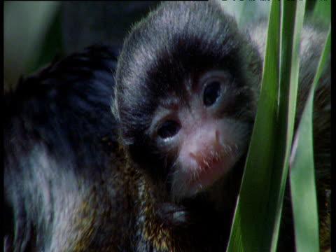 baby emperor tamarin grasps and licks foliage, south america - babyhood stock videos & royalty-free footage