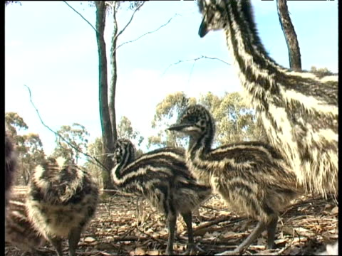 Baby emu chicks in nest on ground