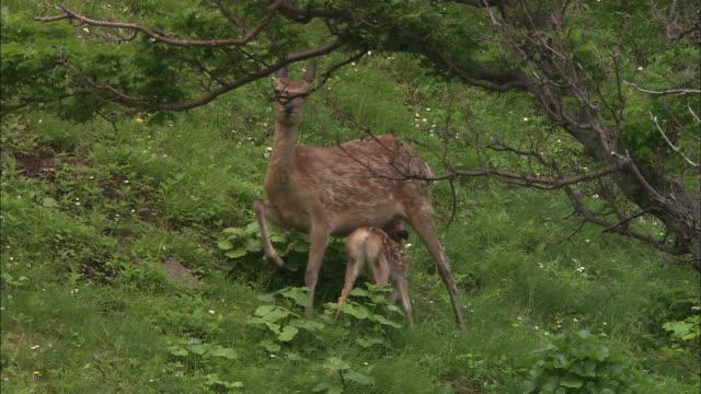 vídeos y material grabado en eventos de stock de baby ezo deer in hokkaido - cervato
