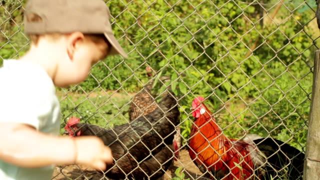 Baby feeding hens