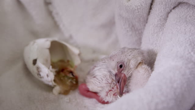 baby flamingo lying next to egg it hatched from on towel - flamingo chick stock videos & royalty-free footage