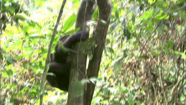 Baby G. g. gorilla climbing up a tree in tropical jungle, Congo Basin, Africa