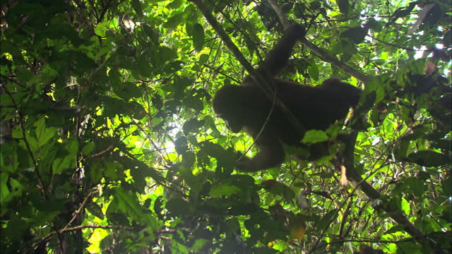 baby g. g. gorilla sitting in a tree picking and eating fruits, tropical jungle, congo basin, africa - gorilla stock-videos und b-roll-filmmaterial