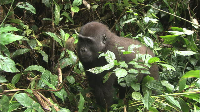Baby G. g. gorilla staring into something in the bush of tropical jungle