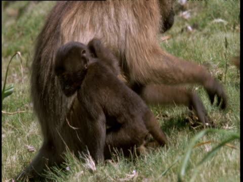 vídeos de stock e filmes b-roll de baby gelada runs back to mother as she grazes, ethiopian highlands - vida de bebé